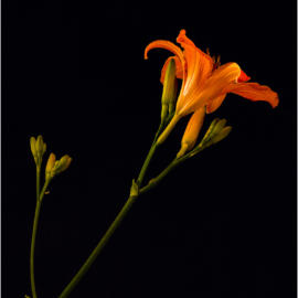 Day Lily by Night