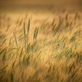 Wheat fields, Alberta