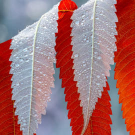 Wet sumac leaves