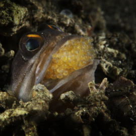 Jawfish with eggsv3