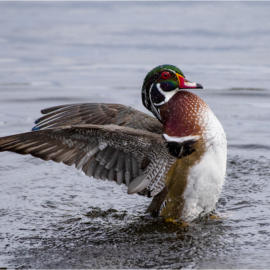 Wood Duck Courting