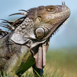 Iguana 4 K