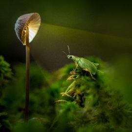 Weevil's Lamp